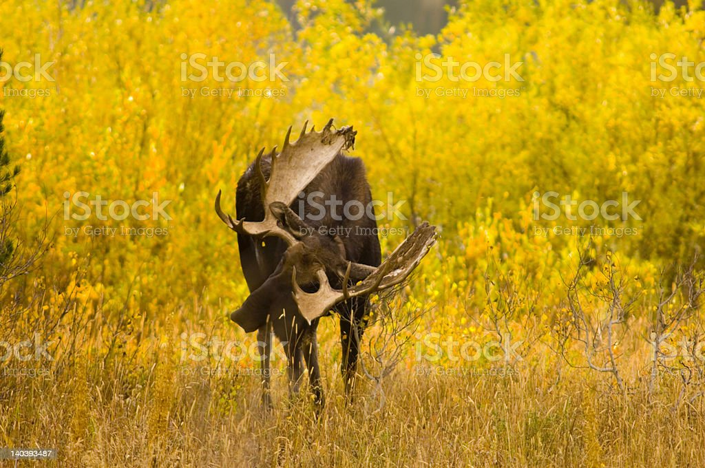 Bull moose in the woods stock photo