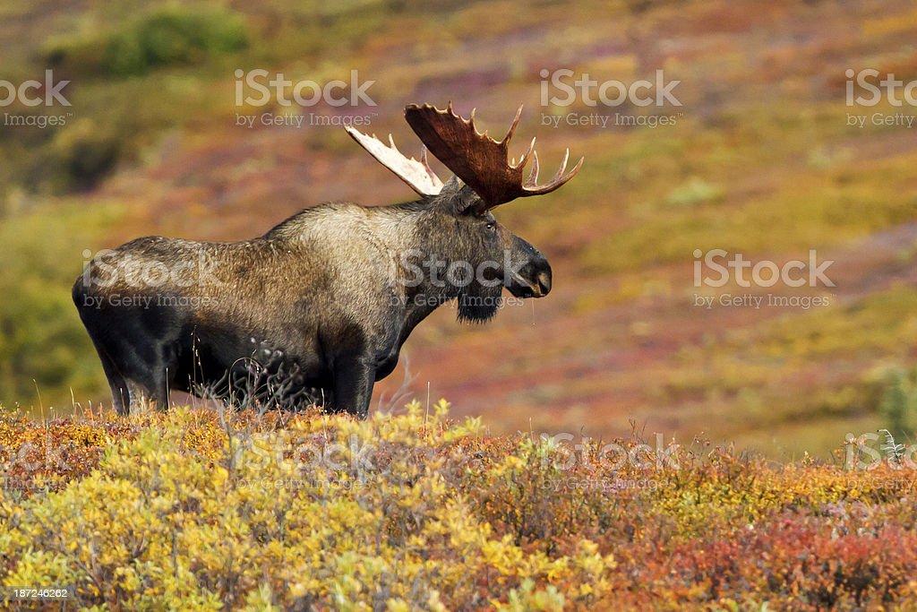 Bull moose looks across colorful tundra in Denali Wilderness stock photo
