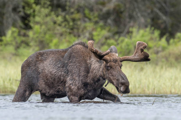 Bull Moose on the move stock photo