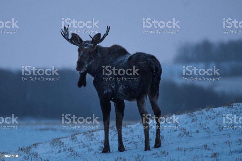 Bull Moose on the Prairies in Winter stock photo
