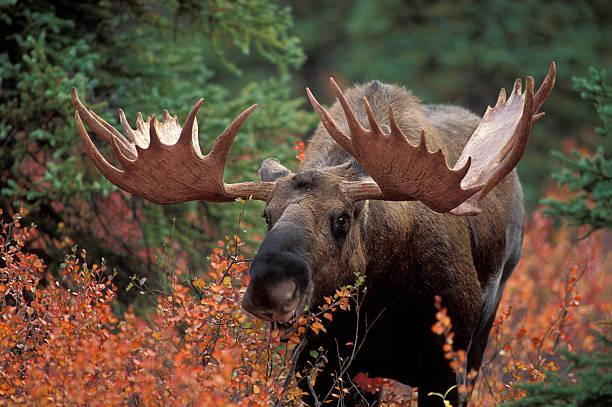 Bull moose picture id153479918?b=1&k=6&m=153479918&s=612x612&w=0&h=hpctkko5o0szvm 6ggbfpxn1aduuvnply6s azrt294=