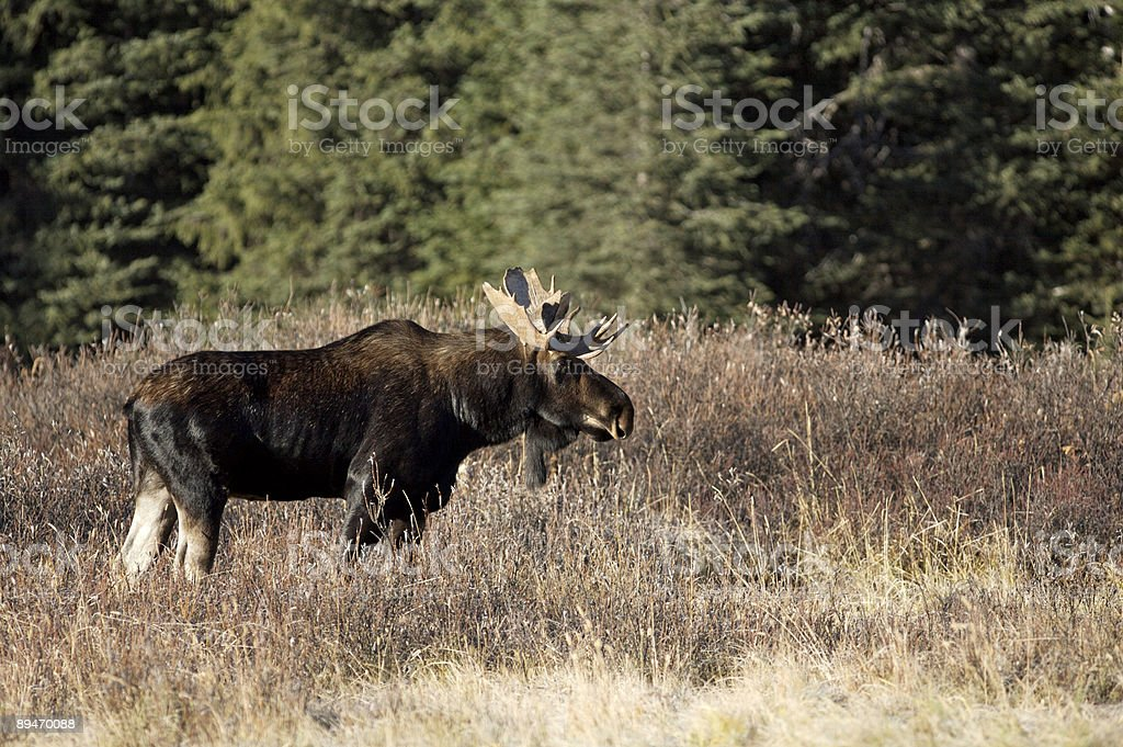 Bull Moose royalty-free stock photo