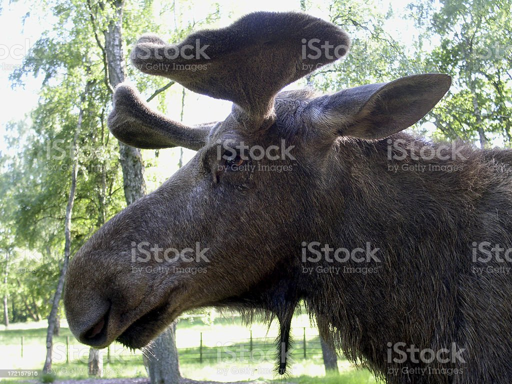 Bull Moose Profile royalty-free stock photo