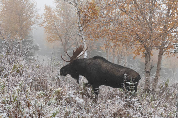 Bull moose walking on first snow, Alces alces. stock photo