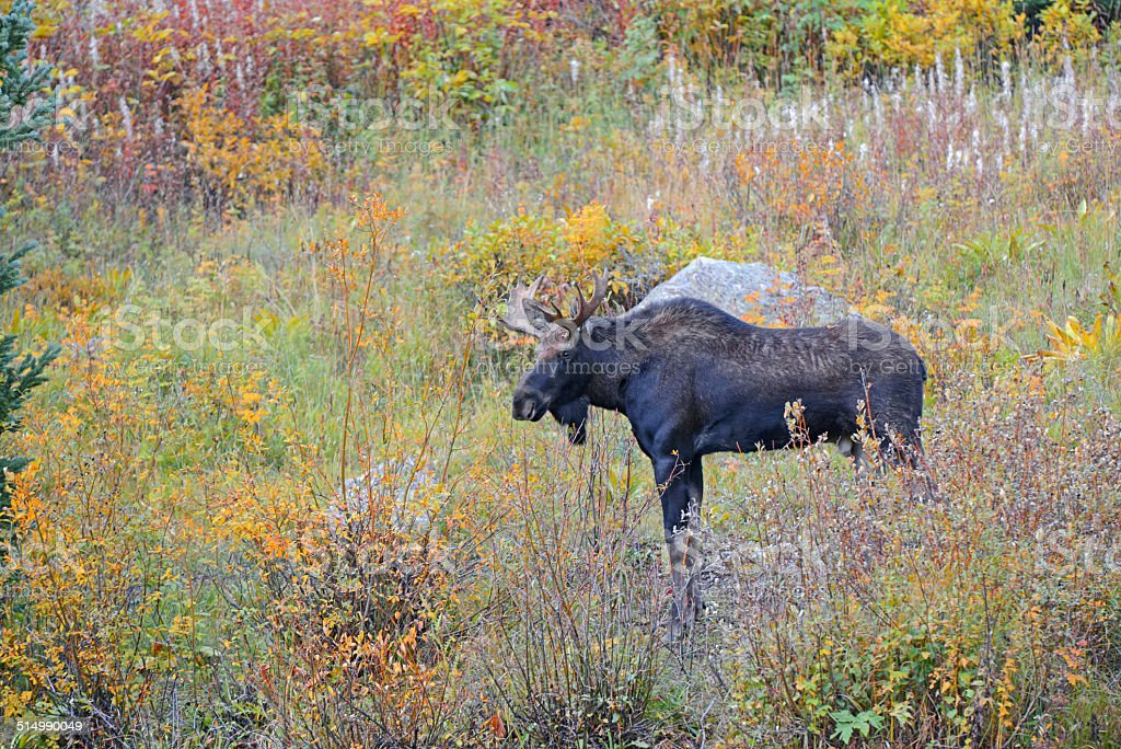 Bull moose with antler rack in grass showing autumn colors stock photo