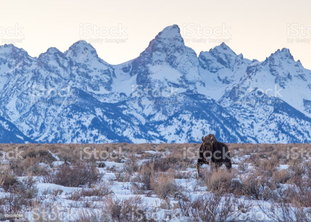 Bull Moose with the Tetons stock photo