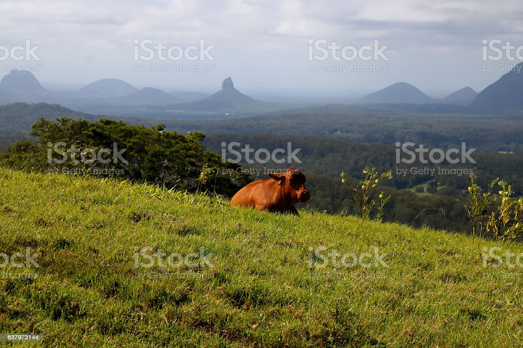Bull on Hillside Overlooking the Glass House Mountains stock photo