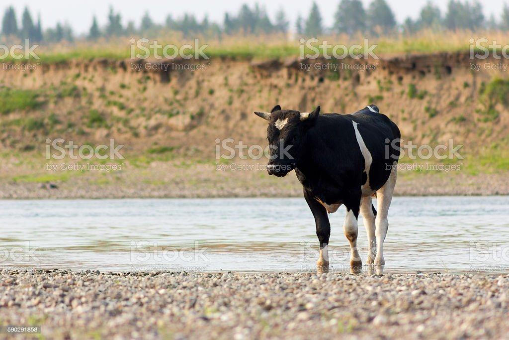 Bull on riverside royaltyfri bildbanksbilder