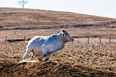 A Brahman Bull on a Australian property, late afternoon.