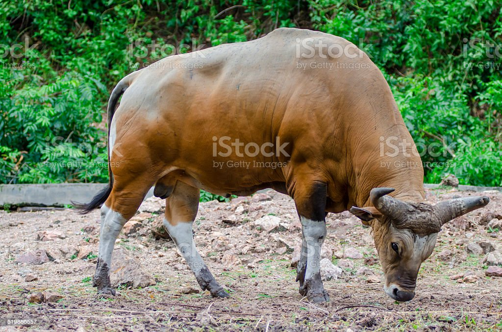 Bull or Banteng stock photo