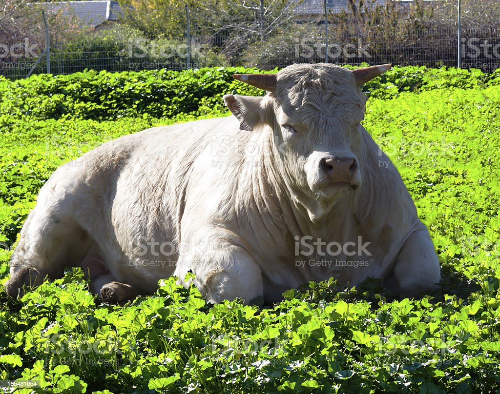 Bull royalty-free stock photo