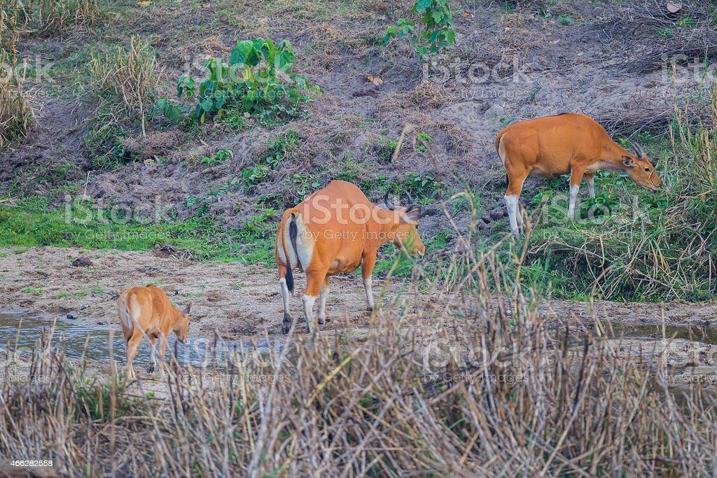 Banteng(Bos javanicus ) stock photo