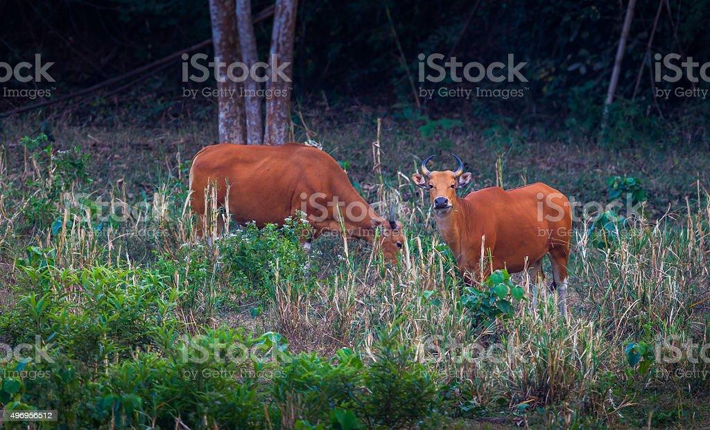 Banteng (Bos javanicus) stock photo