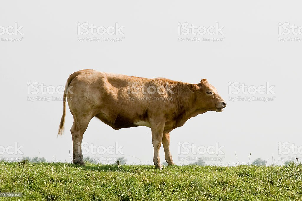 bull royalty free stockfoto