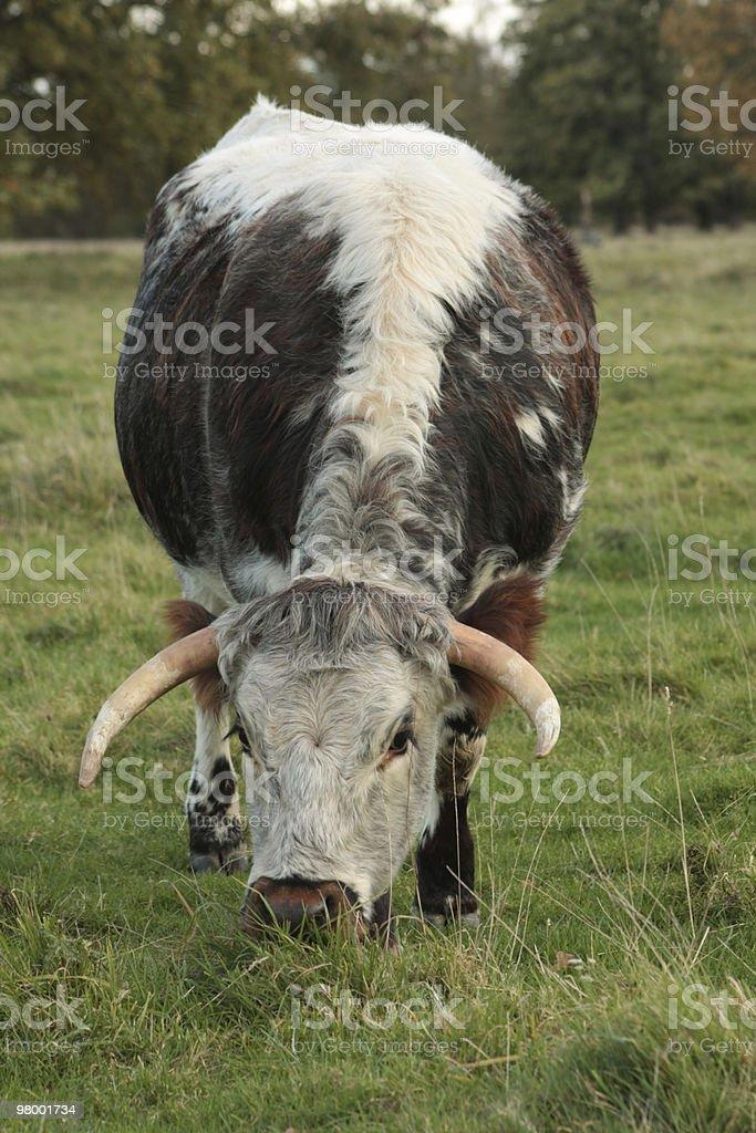Bull royalty-free stock photo