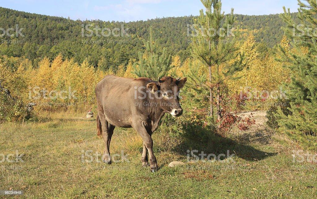 Bull foto stock royalty-free