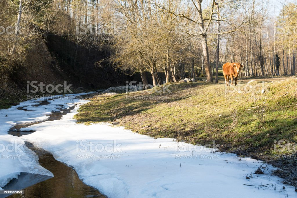 A bull pinches the grass on winter meadow stock photo