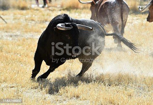 spanish  powerful bull