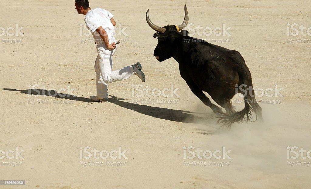 Bull racing royalty-free stock photo