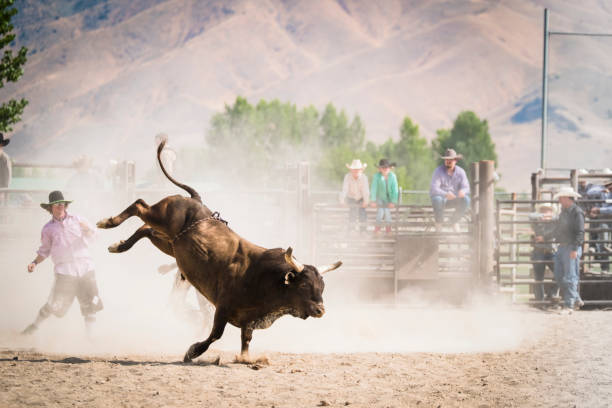 Bull Rider At A Small Town Rodeo stock photo