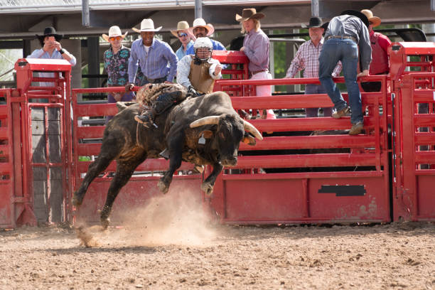 Bull riding out of the gate at the rodeo stock photo