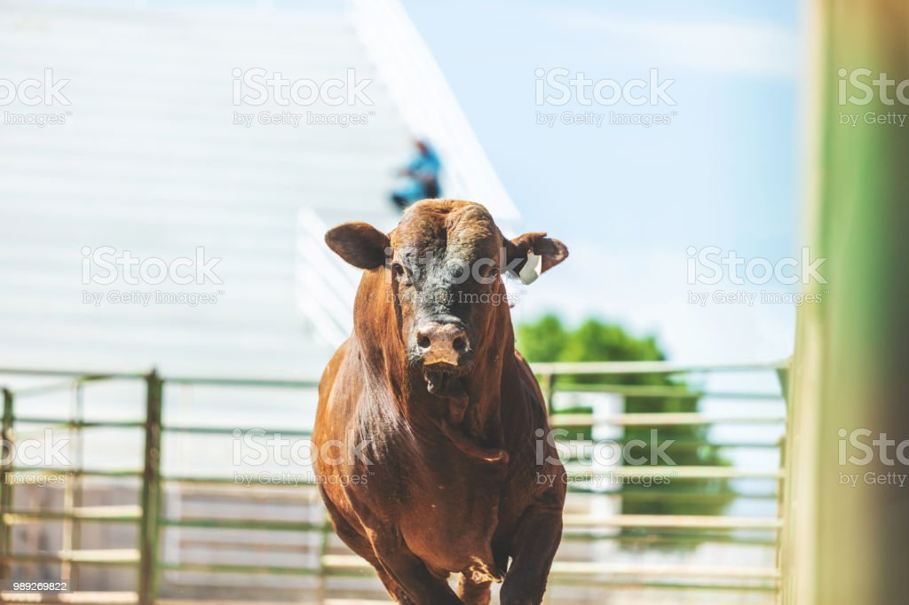 Bull Riding Utah Cowboys Western Outdoors and Rodeo Stampede Roundup Riding Horses Herding Livestock iStock Photoshoot stock photo