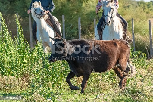 Bull running in a field, riders sorting bulls in Camargue