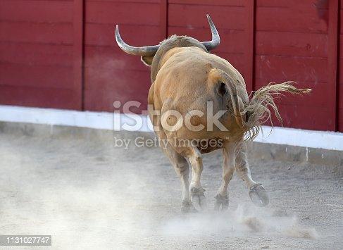 istock bull running in bullring 1131027747