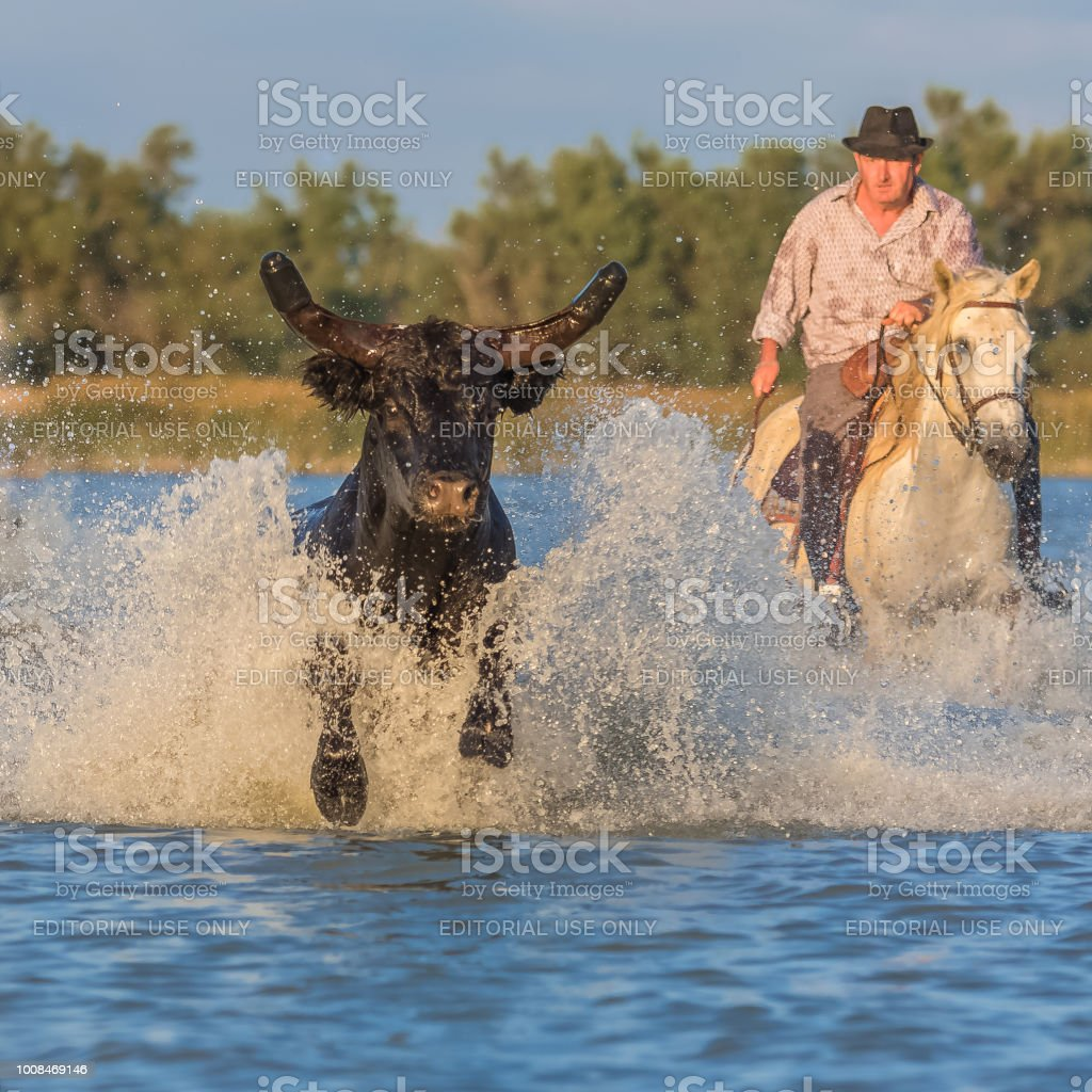 Bull running in water stock photo