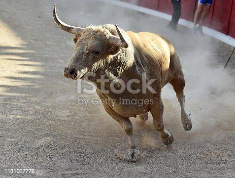 istock bull running on bullring 1131027776