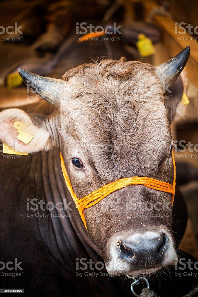 Bull sales for Eid al-Adha, cattle market in İstanbul Turkey. stock photo