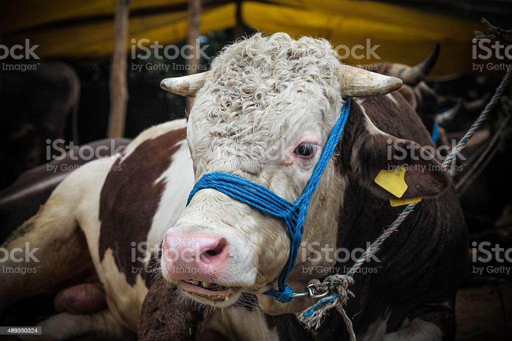 Bull sales for Eid al-Adha in İstanbul, Turkey. stock photo