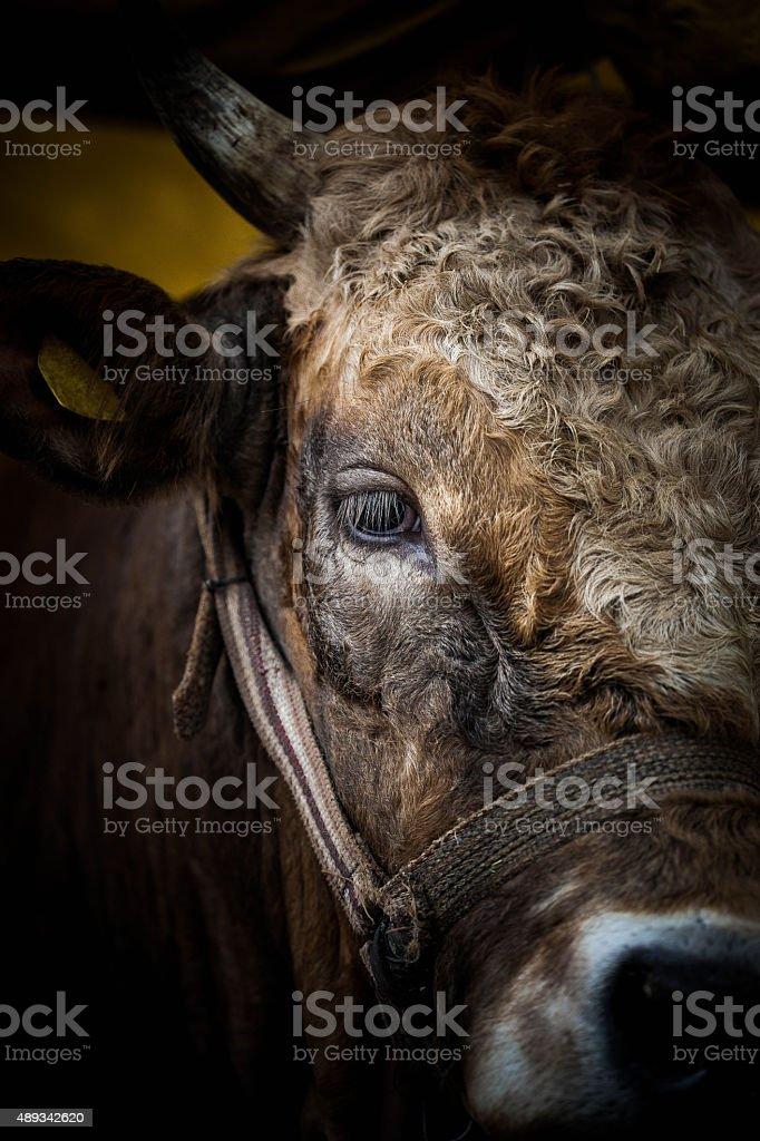 Bull sales for Eid al-Adha. stock photo