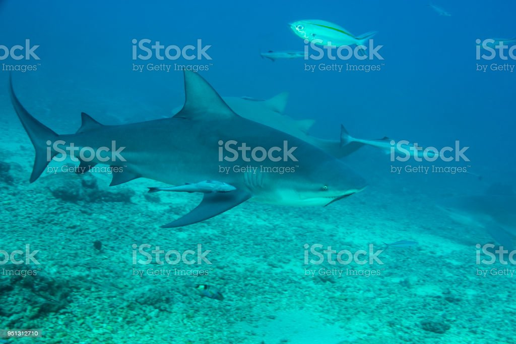 Bull Shark Attack Stock Photo - Download Image Now - iStock