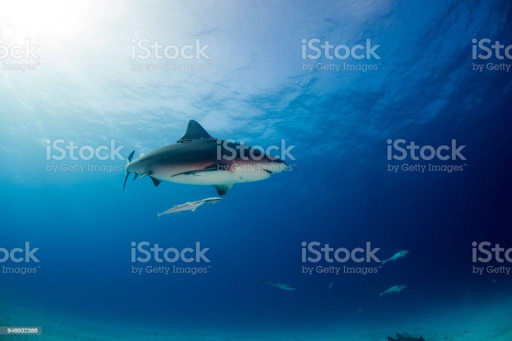 Bull shark Bahamas Bimini stock photo