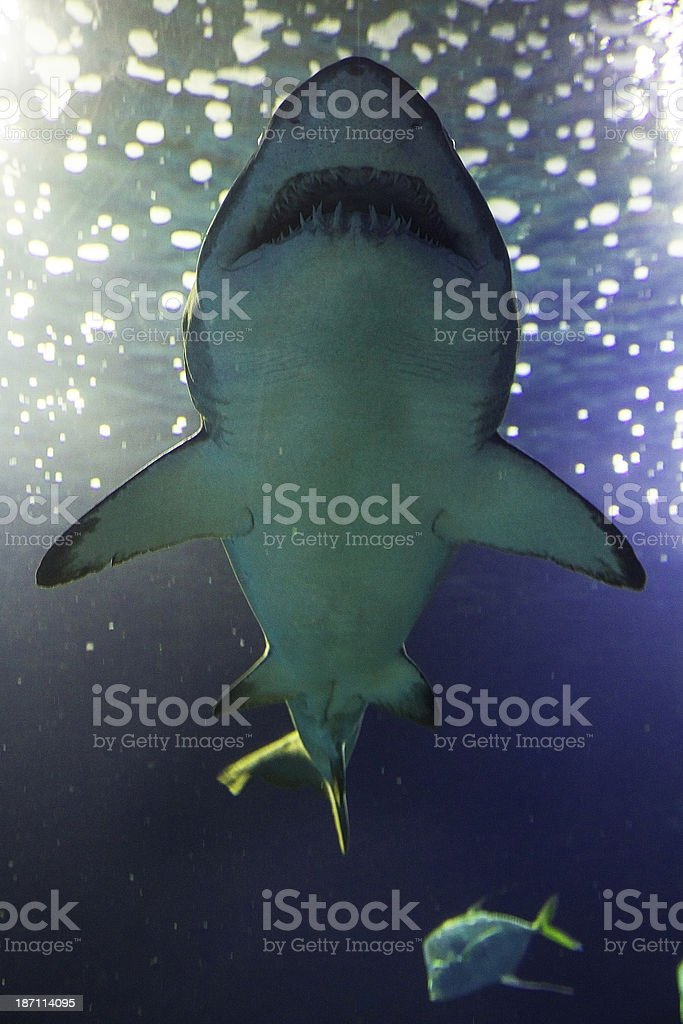 Bull shark seen from below royalty-free stock photo