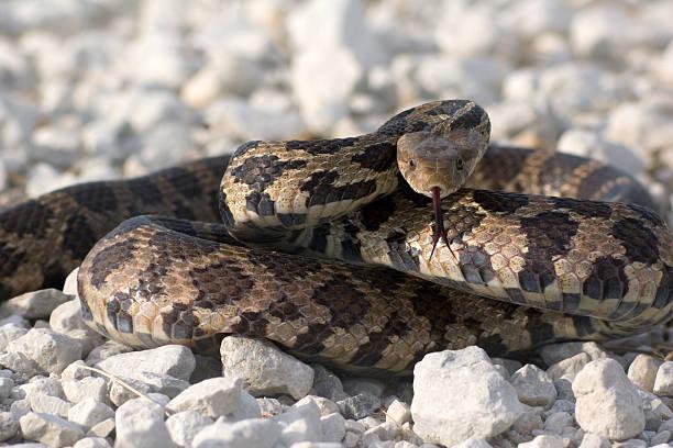 bull snake - boğa hayvan stok fotoğraflar ve resimler