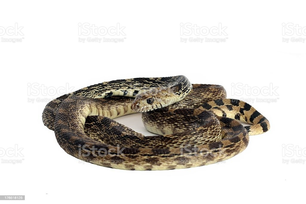 Bull Snake royalty-free stock photo