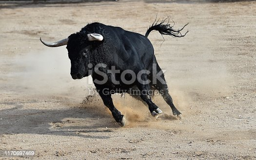 spanish bull in bullring