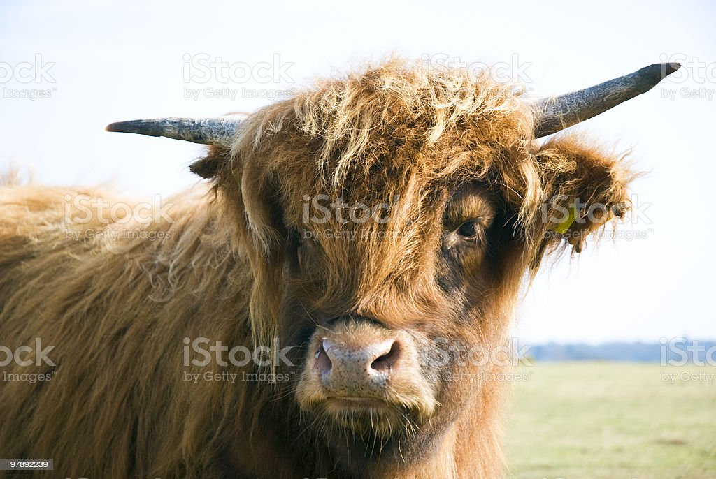 Bull standing in field. royalty-free stock photo