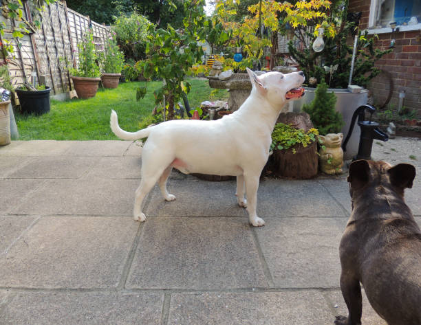 Bull Terrier and French Bulldog in the Garden stock photo