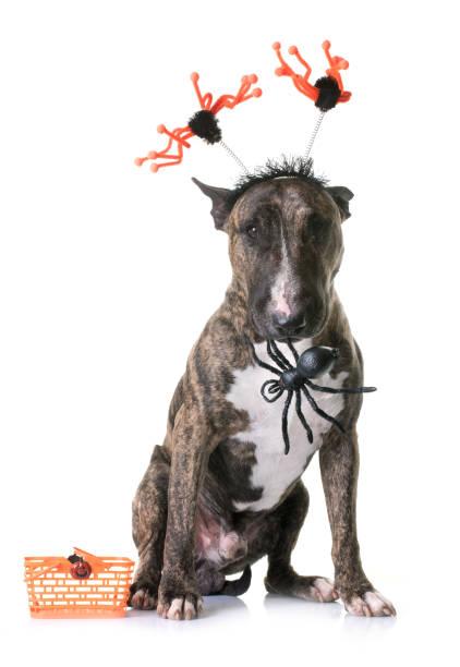 bullterrier und halloween - hund spinnenkostüm stock-fotos und bilder