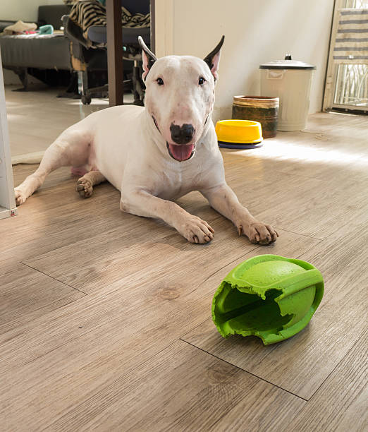 Bull terrier dog and chewed rugby rubber dog toy stock photo
