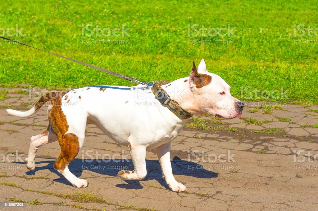 Bull Terrier dog stock photo