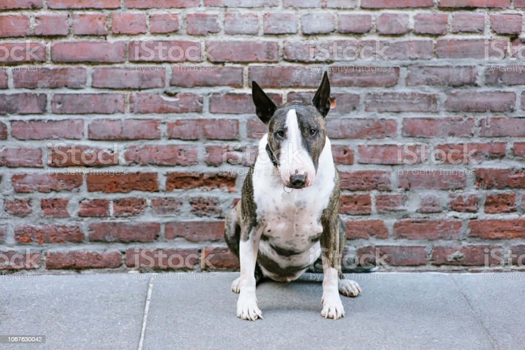 Bull Terrier Dog Sits in Front of Red Brick Wall stock photo