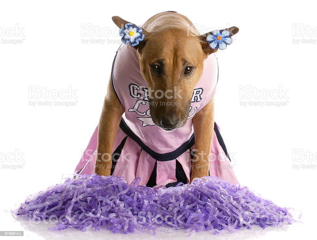 bull terrier dressed as a cheerleader royalty-free stock photo