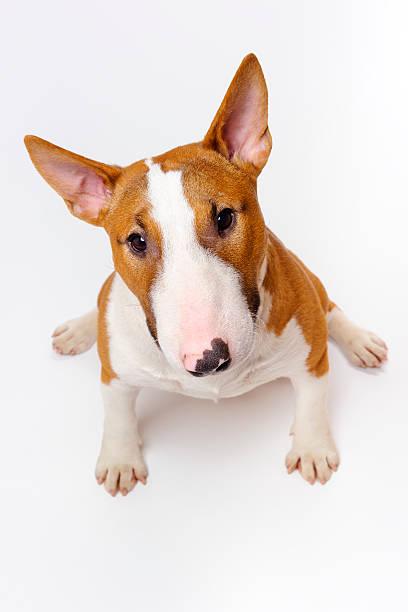 Bull terrier picture id469907262?b=1&k=6&m=469907262&s=612x612&w=0&h=0rlr5gtavt0sxty1cs2yr7cwm0wrnb1weomhzgeprky=