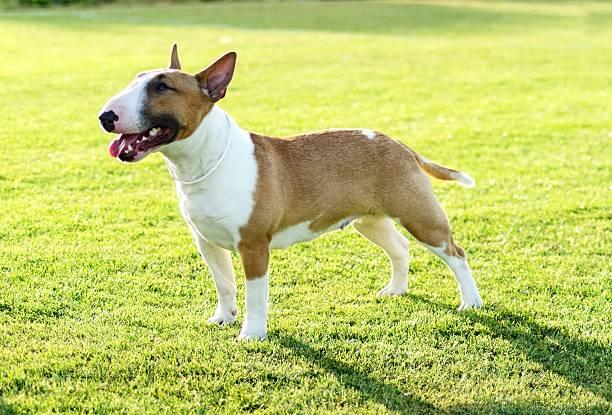 Bull Terrier – Foto
