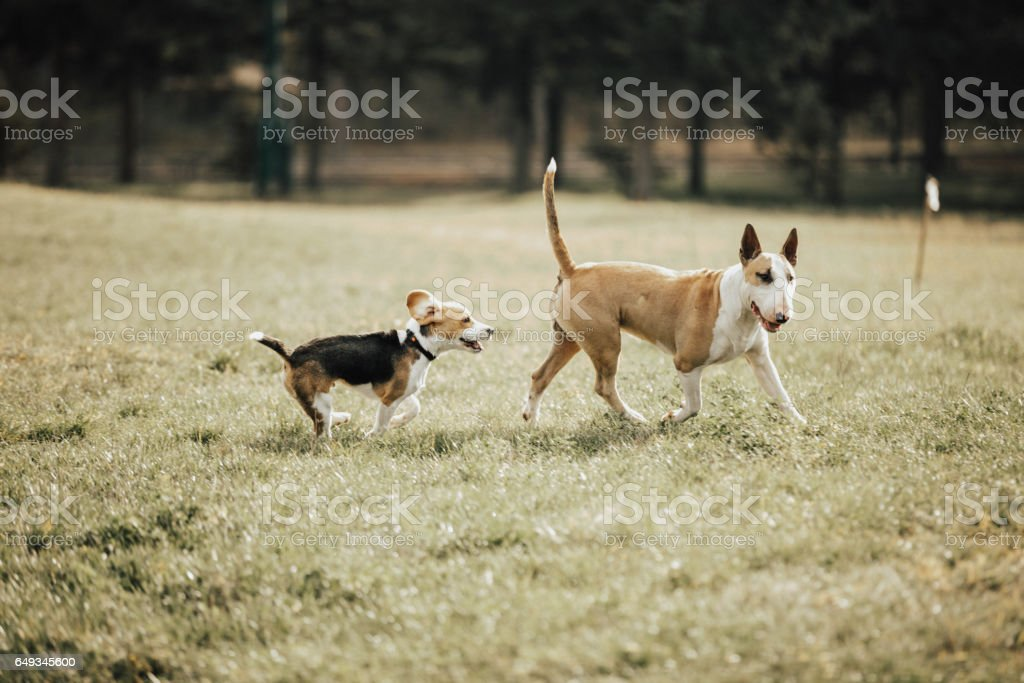 Bull terrier playing with the stray dog in the park stock photo