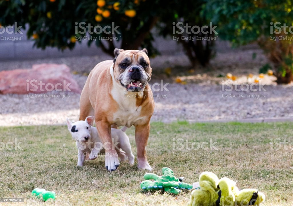 Bull terrier puppy and a bulldog stock photo